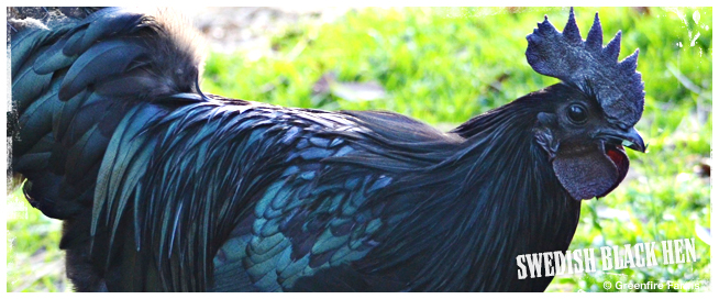 Swedish Black Hen